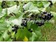 Fruta de Cassis (también llamado grosellero negro o zarzaparrilla negra)